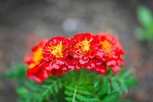 マリーゴールドの赤い花の写真素材 [FYI04533531]