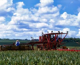 ハワイ州 オアフ島 パイナップルの収穫作業の写真素材 [FYI04534371]