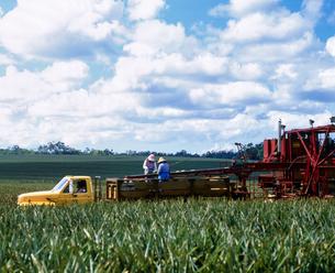 ハワイ州 オアフ島 パイナップルの収穫作業の写真素材 [FYI04534372]