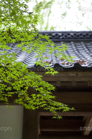 緑の紅葉と瓦屋根の写真素材 [FYI04534395]