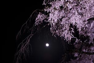 夜桜と月の写真素材 [FYI04534403]