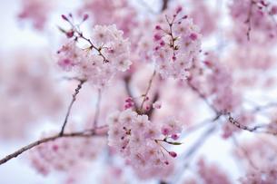 ピンクの桜の花と蕾の写真素材 [FYI04534406]