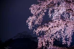 ライトアップされた夜桜の写真素材 [FYI04534409]