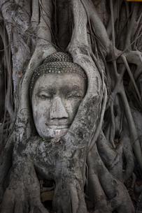 ワット・プラ・マハータート アユタヤの木の根に埋まる仏頭の写真素材 [FYI04534410]