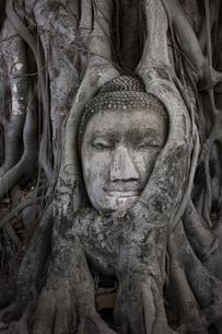 ワット・プラ・マハータート アユタヤの木の根に埋まる仏頭の写真素材 [FYI04534411]