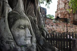 ワット・プラ・マハータート アユタヤの木の根に埋まる仏頭の写真素材 [FYI04534412]