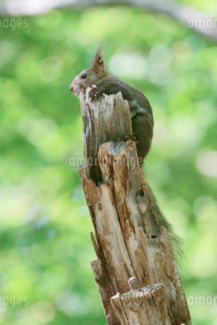 木の上のリスの写真素材 [FYI04534773]