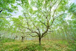 白樺の森の写真素材 [FYI04534780]