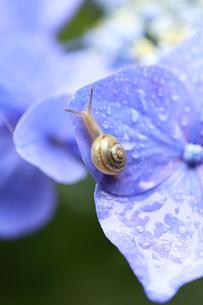 小雨に濡れながら紫陽花の花を歩くカタツムリの写真素材 [FYI04534831]