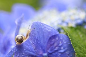 小雨に濡れながら紫陽花の花を歩くカタツムリの写真素材 [FYI04534838]
