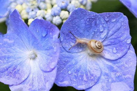 小雨に濡れながら紫陽花の花を歩くカタツムリの写真素材 [FYI04534839]