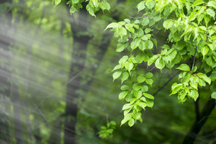 新緑の葉っぱと木漏れ日の写真素材 [FYI04534851]