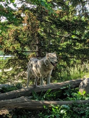 オオカミの写真素材 [FYI04534873]