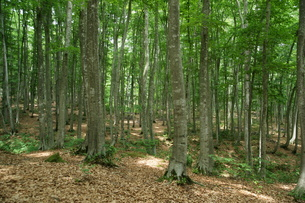 ブナの原生林の森の写真素材 [FYI04535051]
