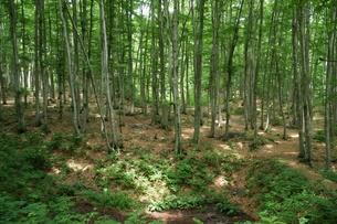 ブナの原生林の森の写真素材 [FYI04535052]