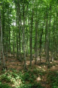 ブナの原生林の森の写真素材 [FYI04535053]