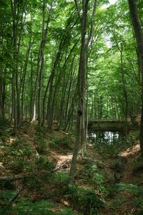 ブナの原生林・・の森の写真素材 [FYI04535056]