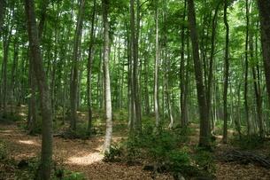 ブナの原生林・・・の森の写真素材 [FYI04535064]