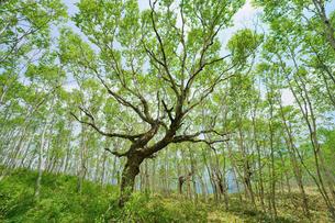 白樺の林の写真素材 [FYI04535508]