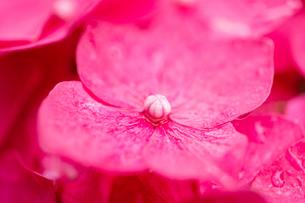 雨上がりのあじさい 花びらクローズアップの写真素材 [FYI04535917]
