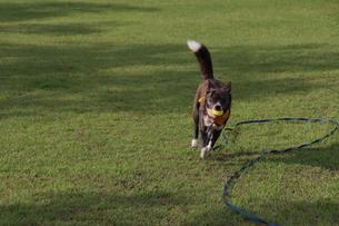 ロングリードを付けてボールをくわえて走る犬の写真素材 [FYI04535966]