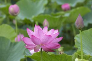 ハスの花の写真素材 [FYI04536030]