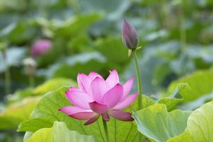 ハスの花の写真素材 [FYI04536038]