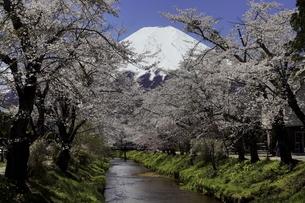 富士山と桜並木と小川の写真素材 [FYI04536049]