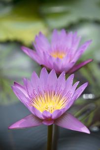熱帯スイレンの花の写真素材 [FYI04536053]