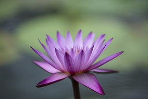 熱帯スイレンの花の写真素材 [FYI04536056]