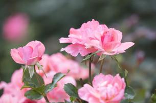 バラの花の写真素材 [FYI04536059]