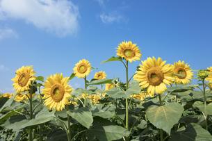 ヒマワリの花畑の写真素材 [FYI04536107]
