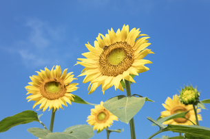 ヒマワリの花の写真素材 [FYI04536123]
