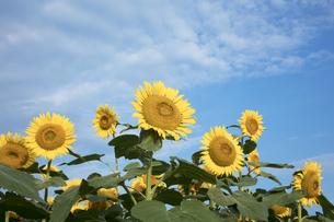 ヒマワリの花畑の写真素材 [FYI04536166]