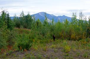 アラスカの森とメスのムースの写真素材 [FYI04536191]