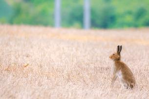 エゾユキウサギの写真素材 [FYI04536248]