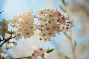 桜の花の写真素材 [FYI04536256]