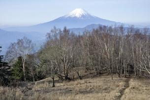 早春のダケカンバ林に富士山の写真素材 [FYI04536446]