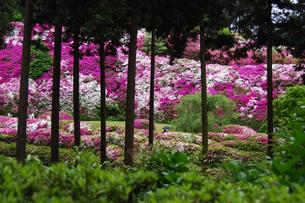 京都 宇治三室戸寺のツツジとサツキの写真素材の写真素材 [FYI04536585]
