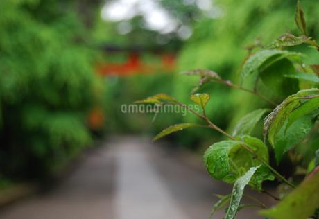 京都 緑滴る参道と赤い鳥居の写真素材の写真素材 [FYI04536586]