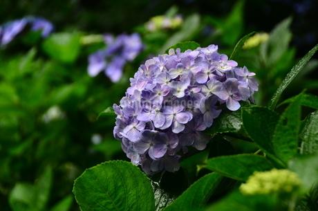 大きく花開く 薄紫色のアジサイ 雨に花弁を濡らし 咲き誇るの写真素材 [FYI04536589]