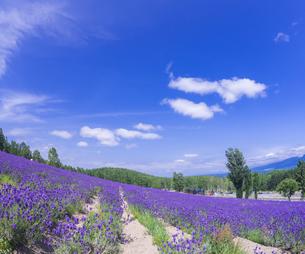 北海道 自然 風景 富良野ラベンダー畑の写真素材 [FYI04536915]