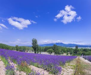 北海道 自然 風景 富良野ラベンダー畑の写真素材 [FYI04536917]