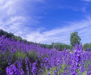 北海道 自然 風景 富良野ラベンダー畑の写真素材 [FYI04536929]