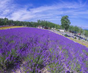 北海道 自然 風景 富良野ラベンダー畑の写真素材 [FYI04536932]