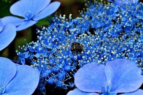 紫陽花の写真素材 [FYI04536997]