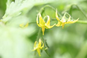 梅雨の晴れ間に花を付けたキュウリの写真素材 [FYI04537076]