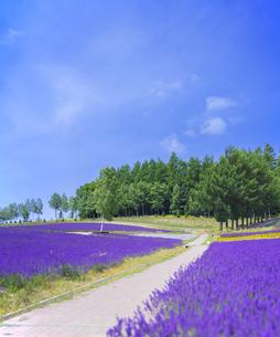 北海道 自然 風景 富良野ラベンダー畑の写真素材 [FYI04537412]
