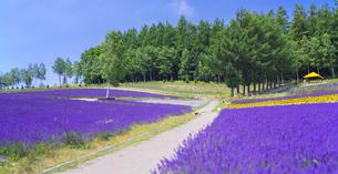 北海道 自然 風景 富良野ラベンダー畑の写真素材 [FYI04537413]
