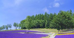 北海道 自然 風景 富良野ラベンダー畑の写真素材 [FYI04537414]